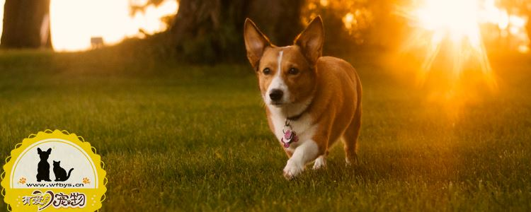 狗狗尿血是怎么回事 狗狗尿血问题不能忽视