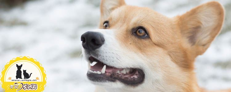 狗胃溃疡要怎么治疗 狗胃溃疡了有什么症状