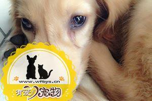狗瘟晚期症状有哪些
