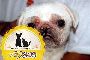 狗皮肤病怎么区别和鉴定