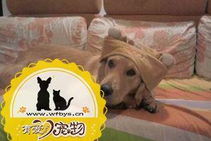 狗狗发烧症状有哪些