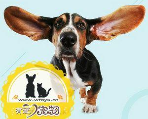 狗耳朵发炎怎么办