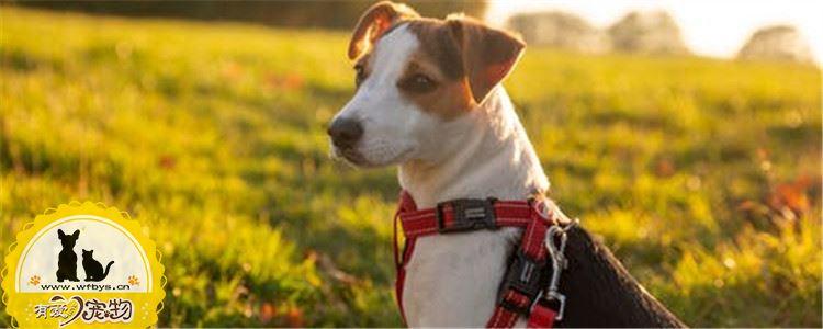 狗的咳嗽声代表了什么 通过咳嗽看出狗狗得什么病