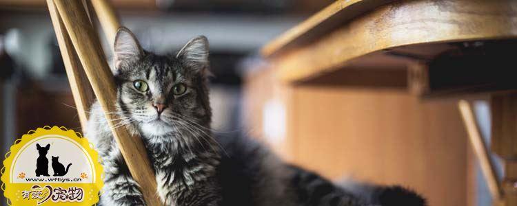 猫咪疝气症状 猫疝气是什么