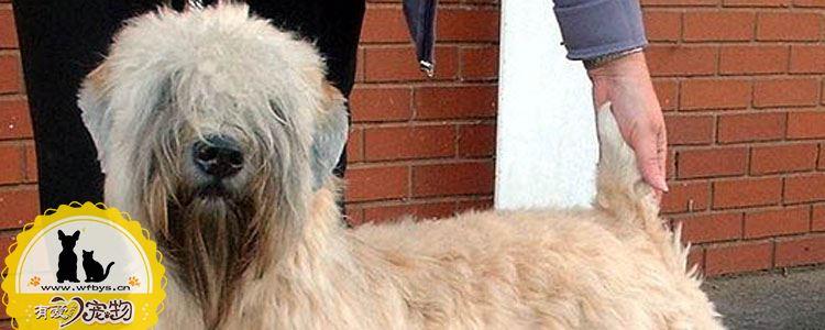 爱尔兰软毛梗母犬发情的症状 母犬发情时间多长