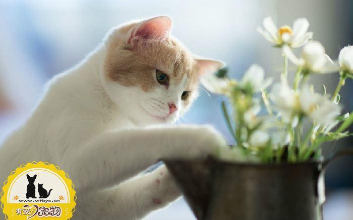 猫发情期间可以绝育吗 做绝育后还会发情吗