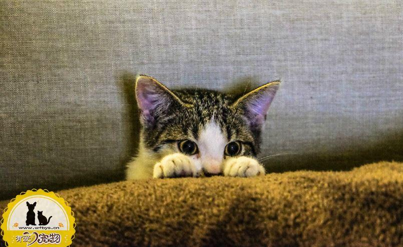 猫传腹症状初期症状