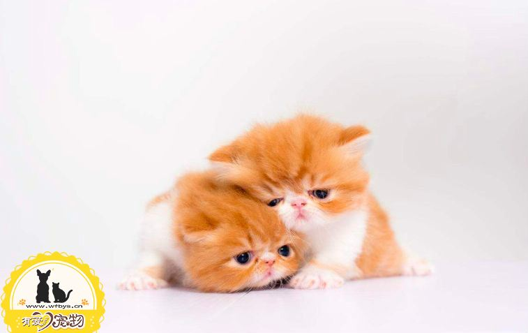 猫发情一般多大 会持续多久