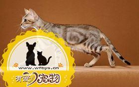 肯尼亚猫抓沙发怎么办 肯尼亚猫不抓沙发训练方法