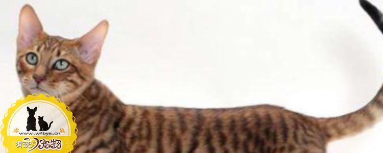 玩具虎猫妊娠期多长时间 玩具虎猫怀孕期间需要注意哪些呢