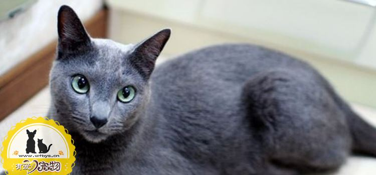 俄罗斯蓝猫没奶怎么办 俄罗斯蓝猫产后催乳的有效办法