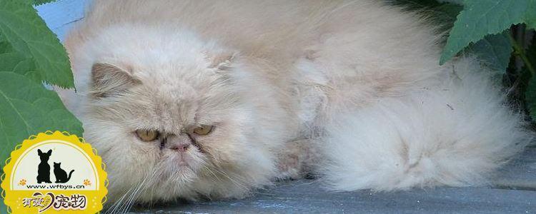 波斯猫怀孕多久可以生 要注意些什么
