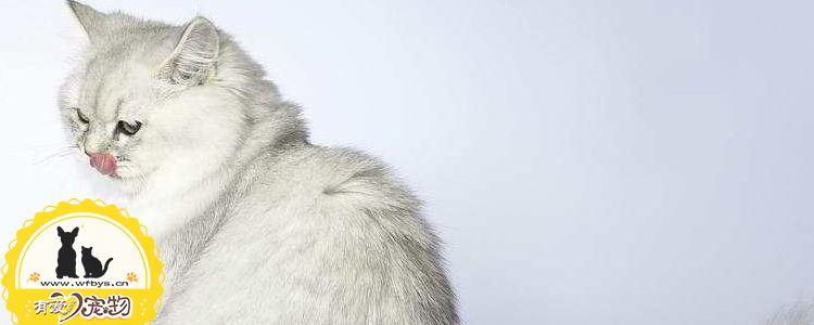 褴褛猫生产前要准备哪些东西 褴褛猫生产前有什么征兆