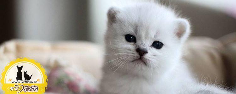 沙特尔猫繁殖要注意什么 沙特尔猫繁殖注意事项