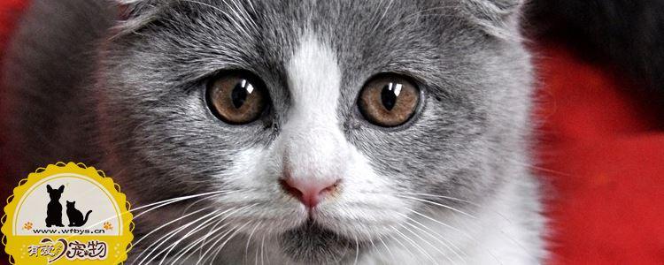 英国短毛猫怀孕是否可以吃海鱼 猫怀孕适合吃什么