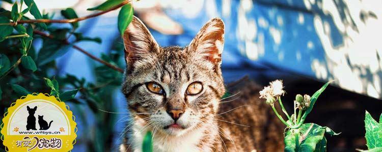 猫角膜炎怎么治疗 猫角膜炎多久能好