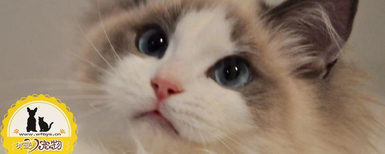 布偶猫皮肤病怎么治 布偶猫