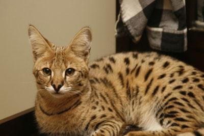 热带草原猫