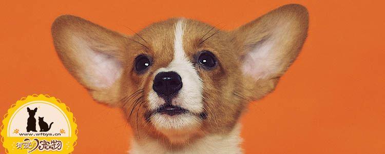 狗狗绝育手术必看的注意事项 给狗狗做绝育你要了解的内容