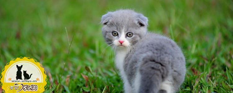 猫咪耳螨怎么清理 猫咪耳螨需要及时清理!