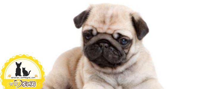 狗狗冠状病毒怎么引起的 狗狗冠状病毒绝对不是可以忽视的