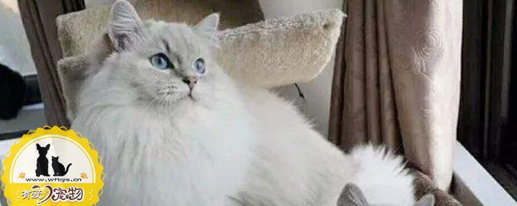 波斯猫洗澡能用人的沐浴露吗 波斯猫洗澡要注意什么