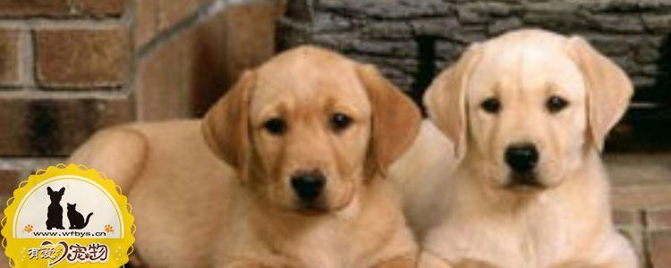 犬瘟和细小怎么分辨 犬瘟和细小你必须会分辨!