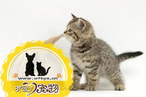 成年猫咪吃什么