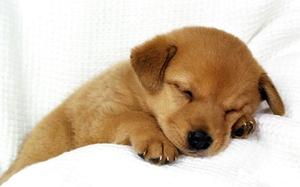 狗狗犬瘟热症状有哪些