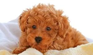 狗狗得了角膜炎如何治疗