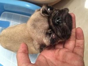 犬瘟热晚期症状介绍