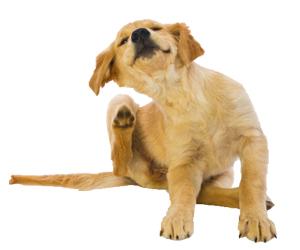 犬疥螨病怎么治疗
