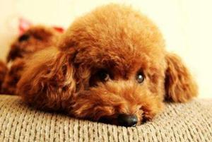 狗蜂窝组织炎的症状