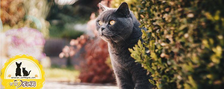 猫糖尿病的症状 也许你的猫正处于危险边缘