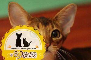 阿比西尼亚猫吃什么