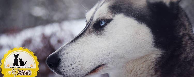 狗结膜炎的症状 狗结膜炎怎么治疗