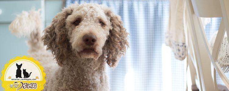 狗狗胃扭转是怎么造成的 预防大于一切