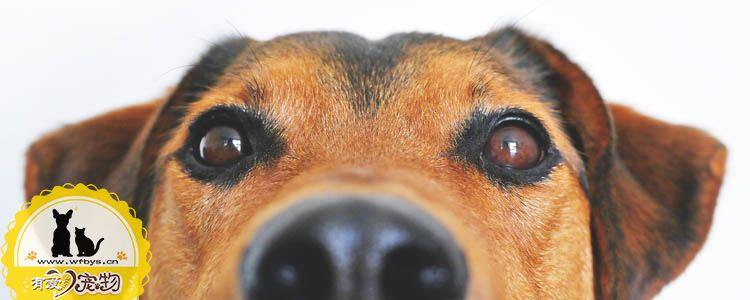 狗葡萄膜炎能治好吗 狗葡萄膜炎如何治疗