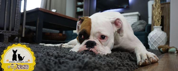 狗狗胃扭转的症状 比犬瘟细小更可怕