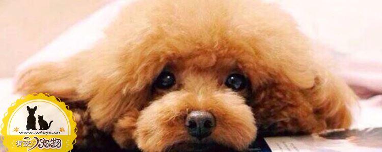 泰迪幼犬为什么那么容易的细小 这些方面要注意