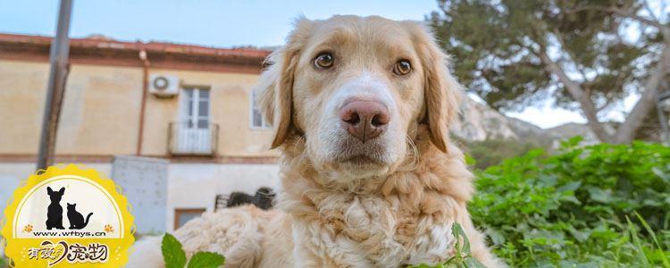 犬布鲁氏菌病如何治疗 波状热会不会传染给人