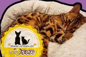 孟加拉豹猫怎么看品相