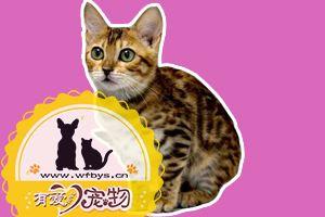 孟加拉豹猫怎么养