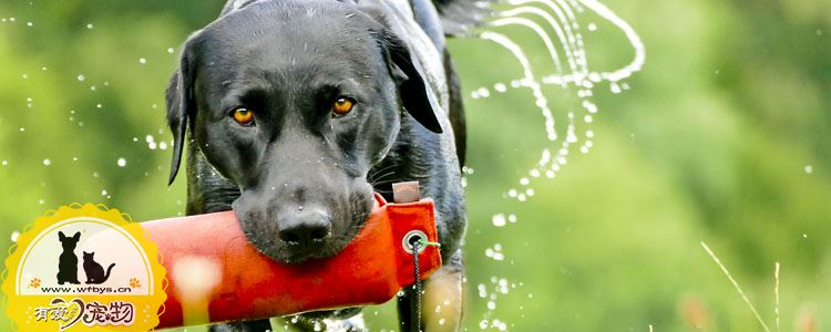 犬瘟热会传染给人吗 让人闻风丧胆的传染病
