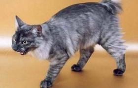 肯尼亚猫被烫伤怎么办 肯尼亚猫烫伤处理方法