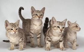 澳大利亚雾猫抑郁症怎么治疗