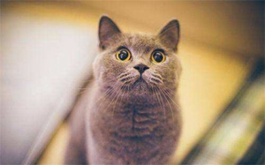 猫咪咳嗽怎么办 猫咪咳嗽治疗方法