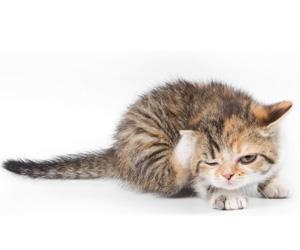 猫癣怎么治疗