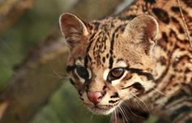 豹猫得了肠胃炎怎么办 肠胃炎食疗药物治疗