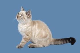 重点色短毛猫吐了怎么办 重点色短毛猫呕吐原因介绍